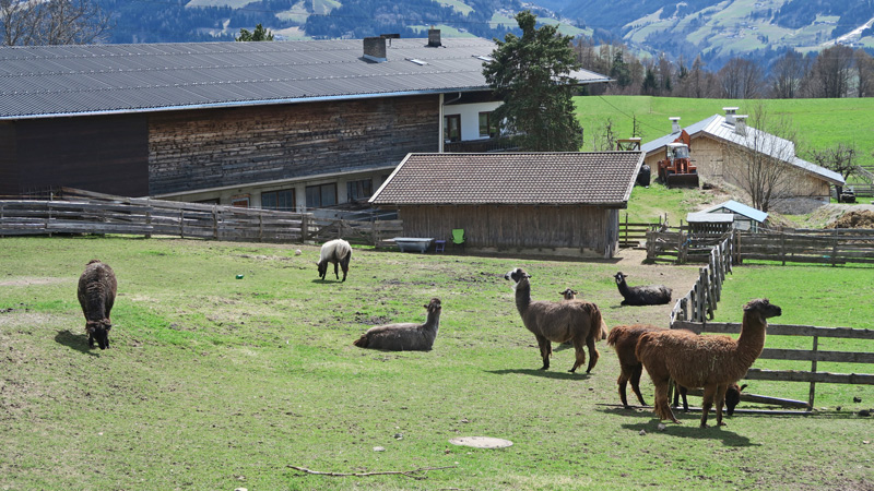 Lamas auf einer Weide