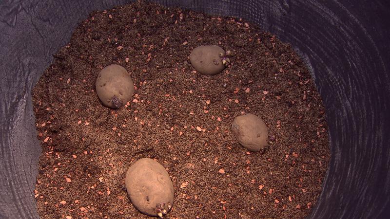 Kartoffeln im Topf ansäen
