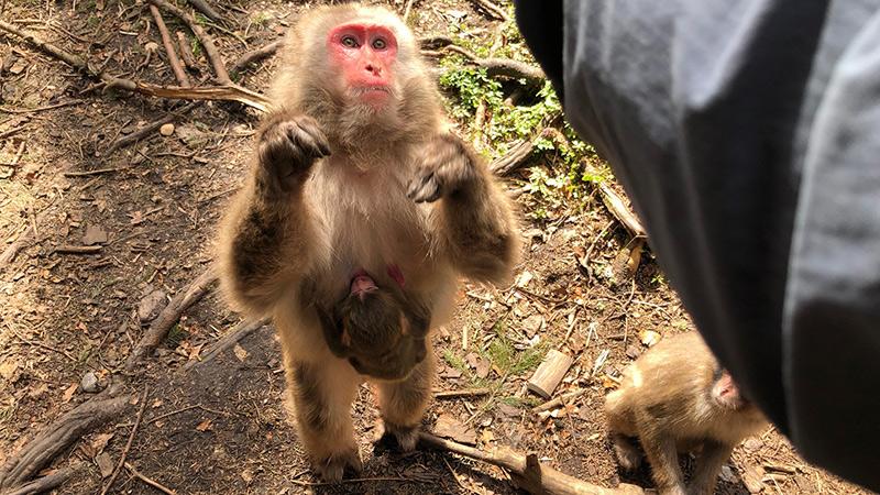 Makaken Affenberg