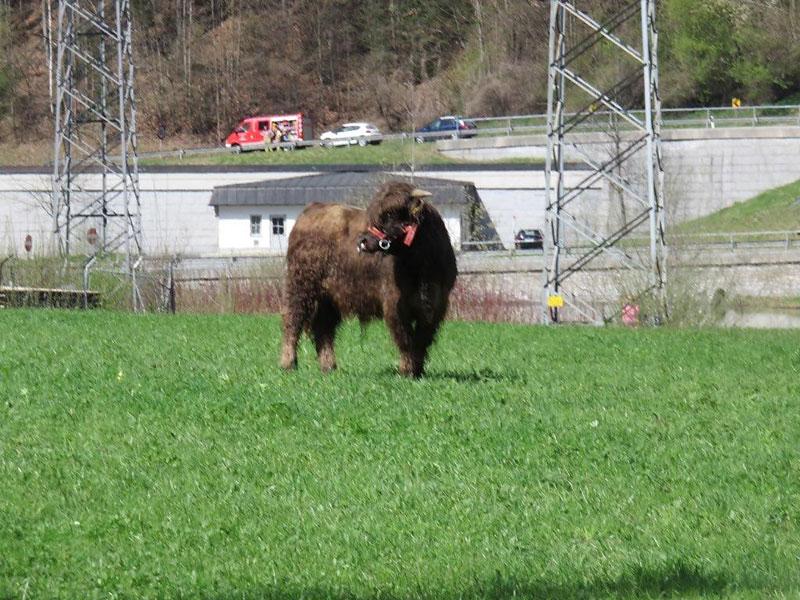 Rinder entlaufen