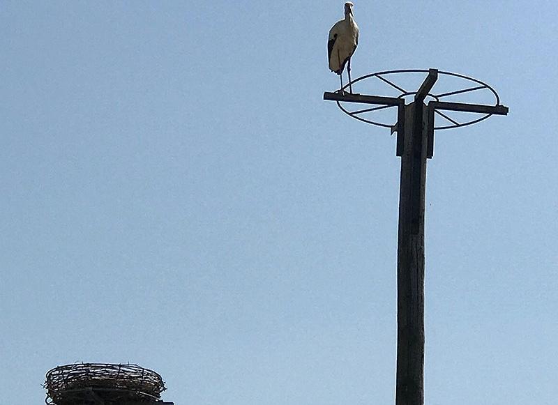 Storch in Pamhagen