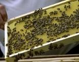 Imker mit Wabe voller Bienen in der Hand