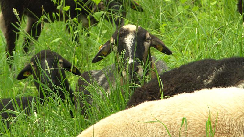 Weinidylle - Schaf Aktie Lammfleisch