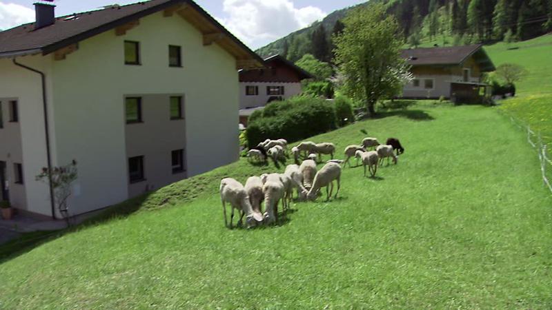 Schafherde, Wiese, Wohnsiedlung