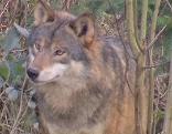 Wolfsgipfel