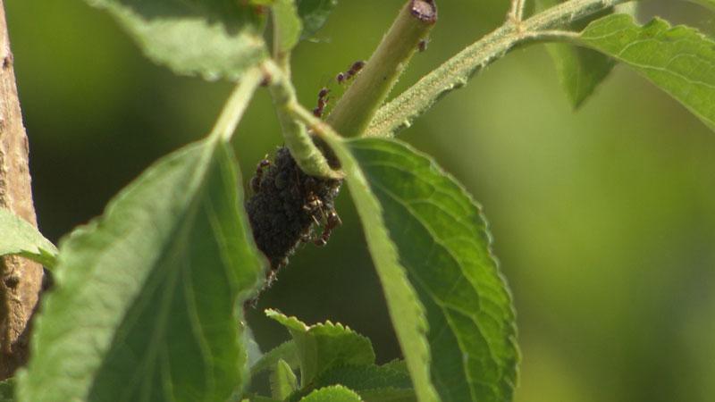 Ameisen auf einem Zweig