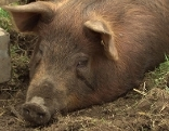 Duroc Schwein Umgrabungsmeister Bizau