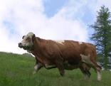 Alm Kühe