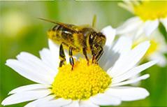 Čebela bečela svetovni dan čebelarstvo