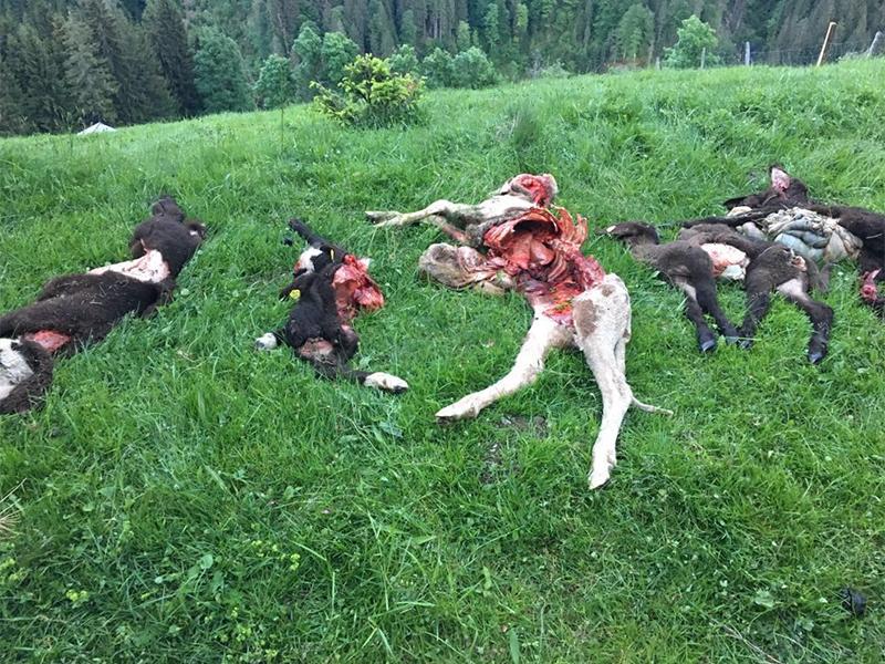 Tote Schafe in Hüttau