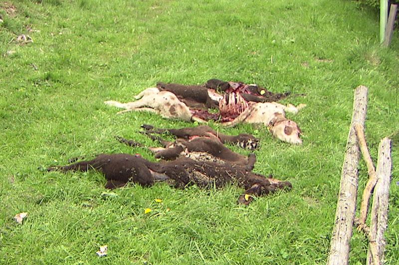 Getötete Schafe auf Wiese bei Hüttau