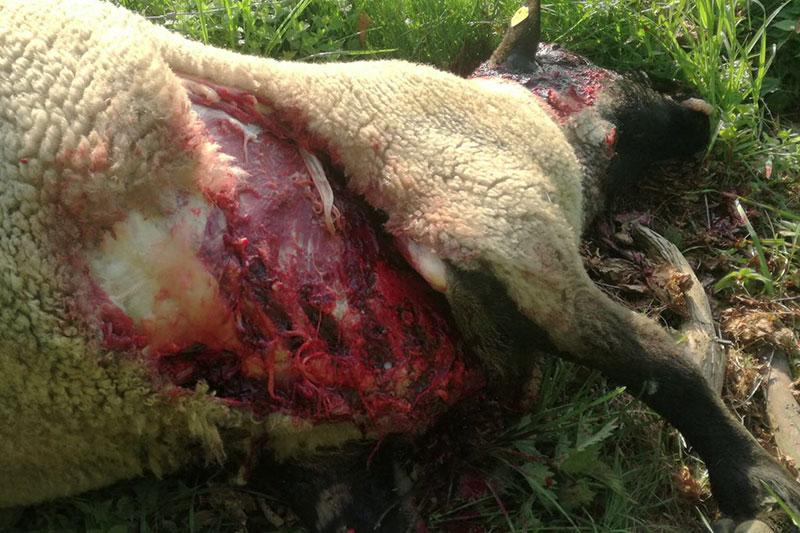 Gerissenes Schaf auf Wiese bei Pfarrwerfen