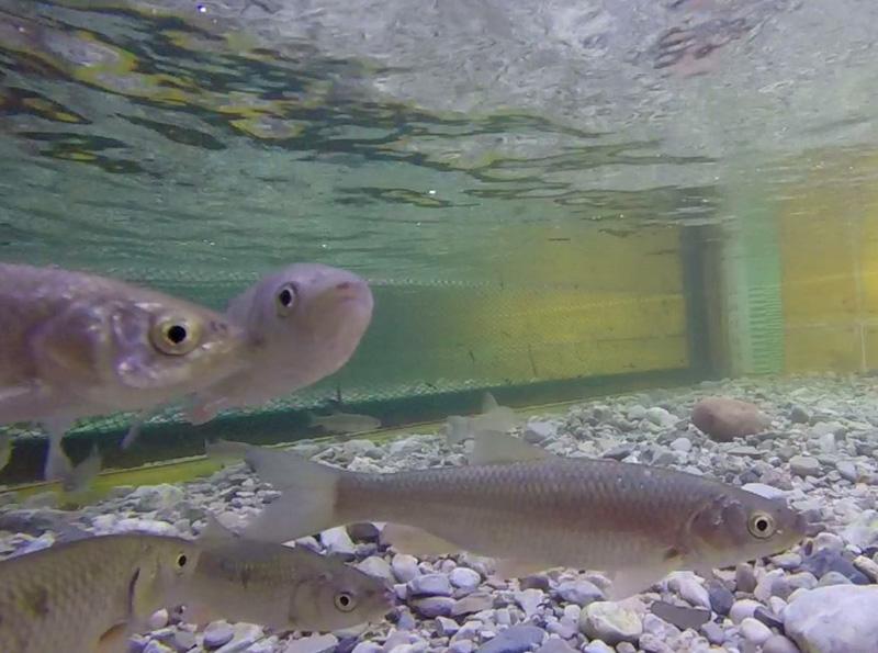 Seilrechen Fisch uni
