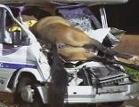 Autos rammen Pferde, zwei Verletzte, drei tote Tiere