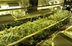 Großrazzia gegen Drogenbande. Im Bild: die betriebenen Cannabisplantagen