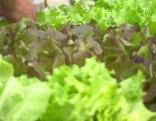 Salat Gemüse Anbau Biologisch