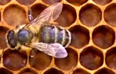 Biene Bienenstich Wabe Honig Honigernte Bienenwachs Wachs