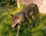 Wolf Alpenzoo
