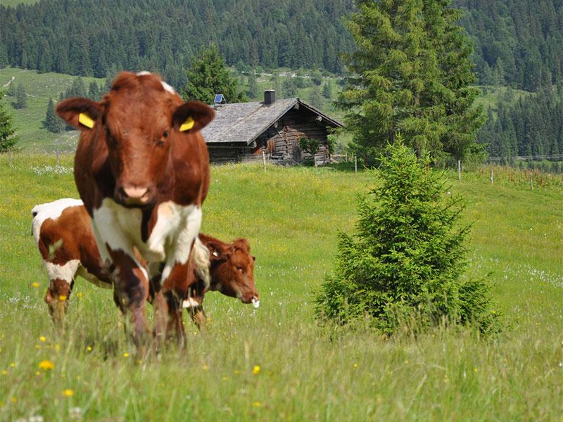 Kühe bei der Rettenegghütte auf der Postalm