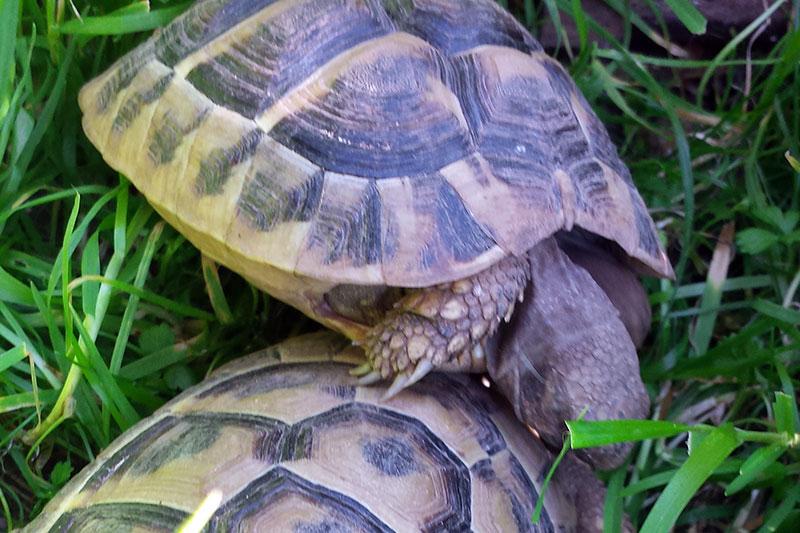 Landschildkröten auf Wiese