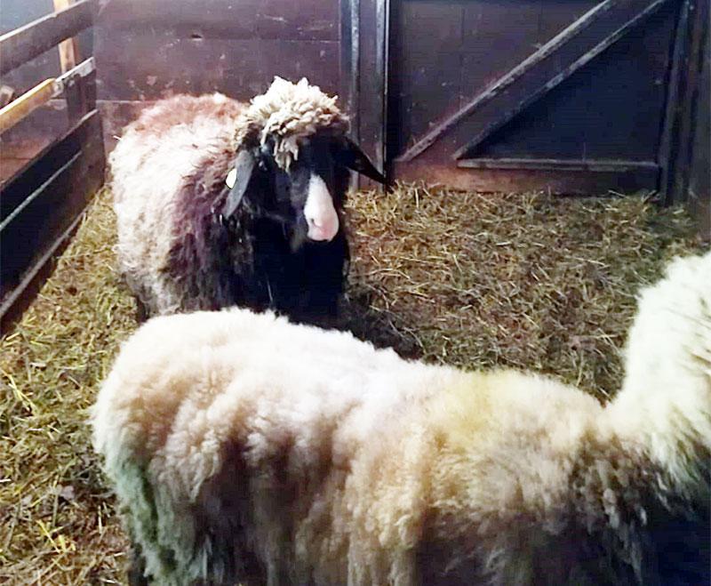 Vermisste Schafe