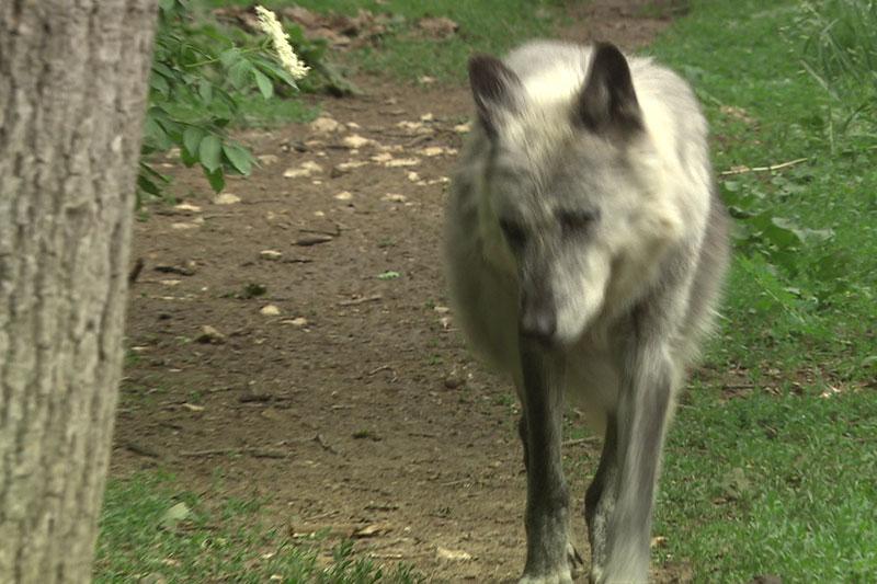 Wolfsriss, Wolf