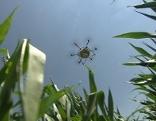 Naturnahe Bekämpfung Maiszünsler, Schädlingsbekämpfung mit der Drohne