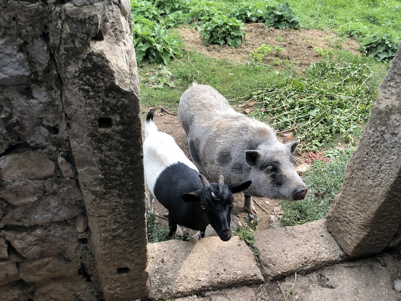 Ziege und Hängebauchschwein