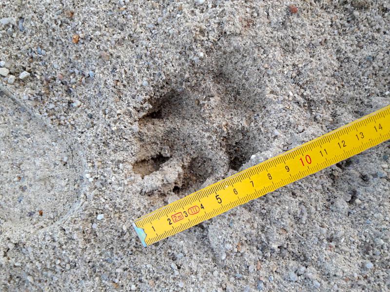 Spur eines Wolfes