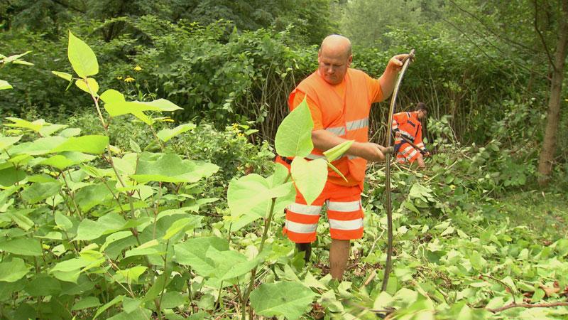 Straßenmeistereien kämpfen gegen Staudenknöterich