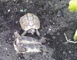 vermisste Landschildkröte