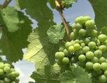 Weintrauben Weinernte Weinlese