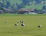 Störche Bregenzerwald