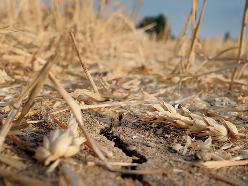 Ehren Getreide Weizen Hitze Dürre