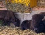 Die Familie Pucher züchtet Bisons in Zerlach in der Steiermark
