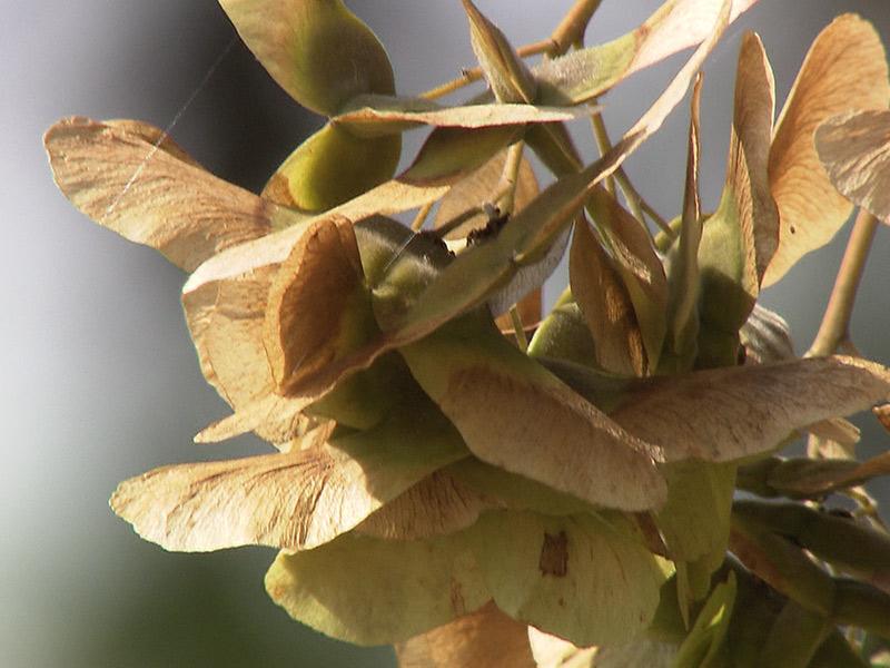 Vorzeitig verfärbte Blätter: Braune Blätter an den Bäumen aufgrund von Hitze und Trockenheit