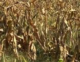 Trockenheit Ernteausfall Mais