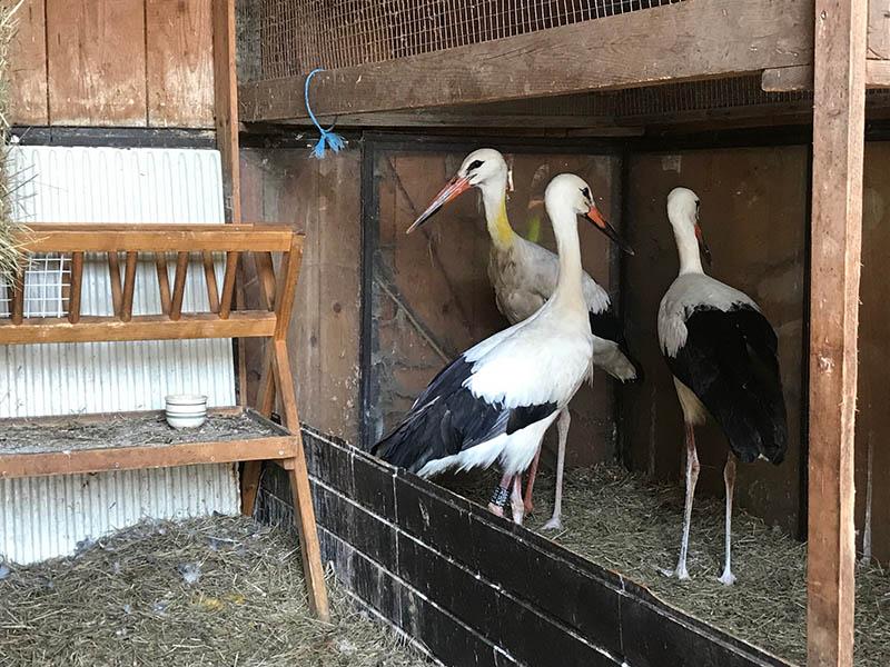 Drei Störche sind noch in der Storchenstation in Tillmitsch - alle anderen sind bereits auf dem Weg in den Süden
