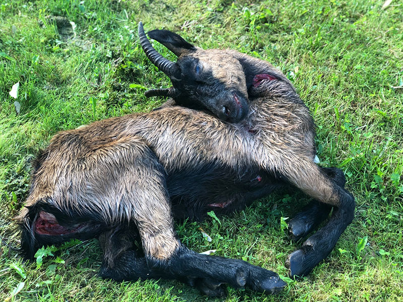 Totes Mufflon nach Hundeattacke