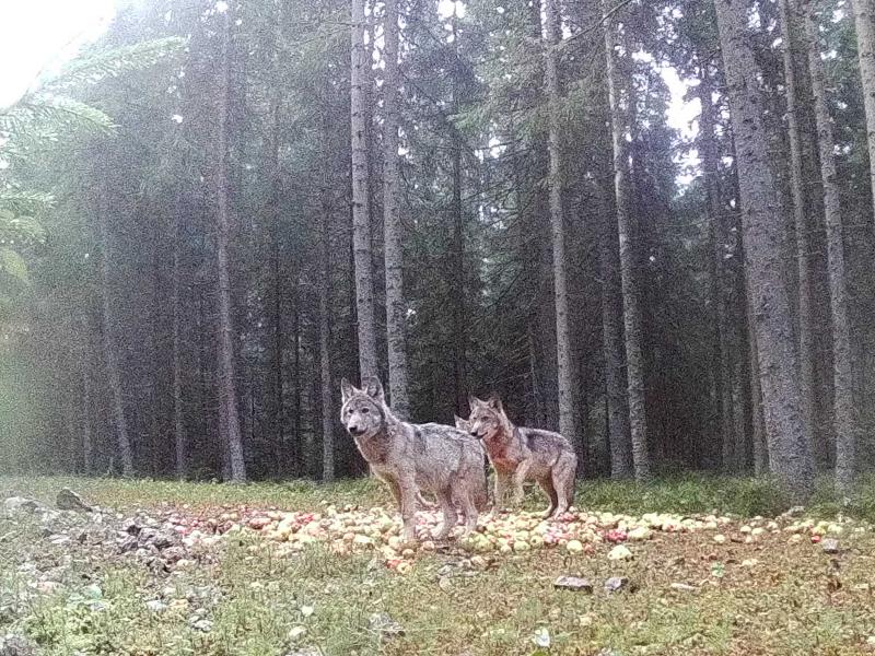 Wölfe im Waldviertel