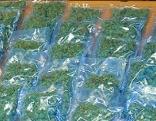 Viel Cannabis sichergestellt