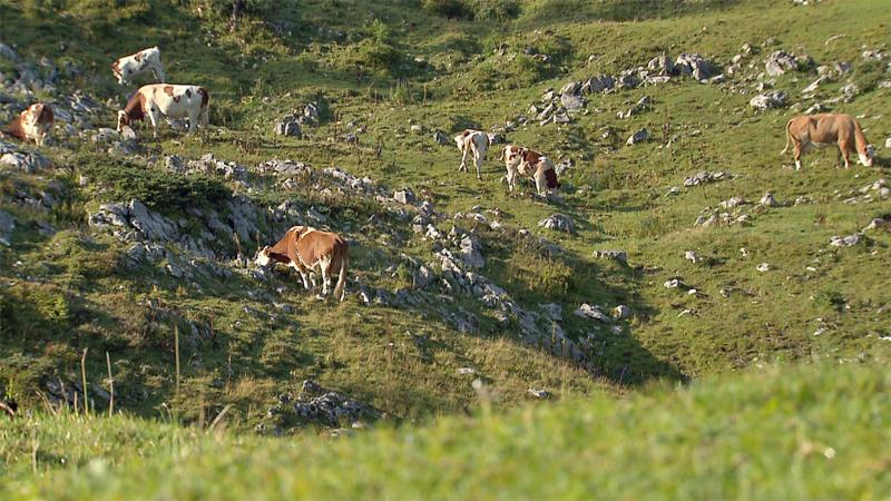 Alm Almwirtschaft Kühe grasen