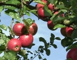 Rosenstreifling Apfel des Jahres