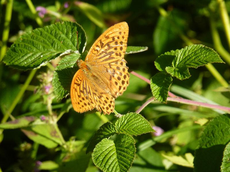 Schmetterling im Bürmooser Moor