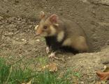 Hamsterbeauftragter Hamster
