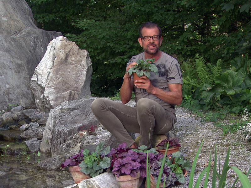 Karl Ploberger im Fernsehgarten mit verschiedenen Purpurglöckchen