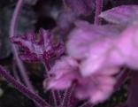 Purpurglöckchen