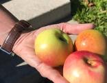 Obstbaumpflanzzeit ist jetzt