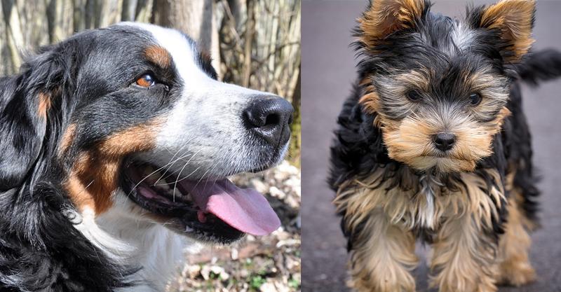Yorkshire Terrier und Berner Sennenhund