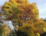 Laubbaum mit gelb-roten Blättern im Herbst